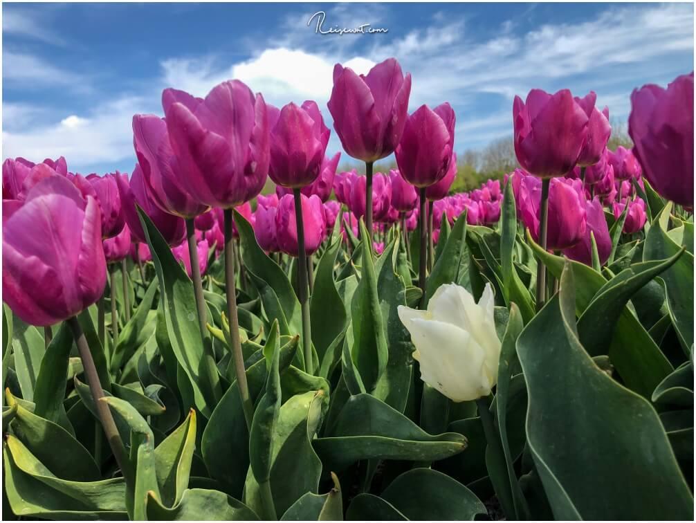 Tulpen, Tulpen, nichts als Tulpen ... soweit das Auge reicht