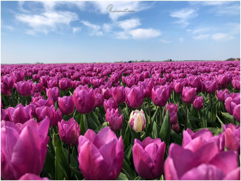 """Be different, be special. Als """"Andersfarbige Tulpe"""" sticht man zweifellos heraus unter Millionen anderen."""