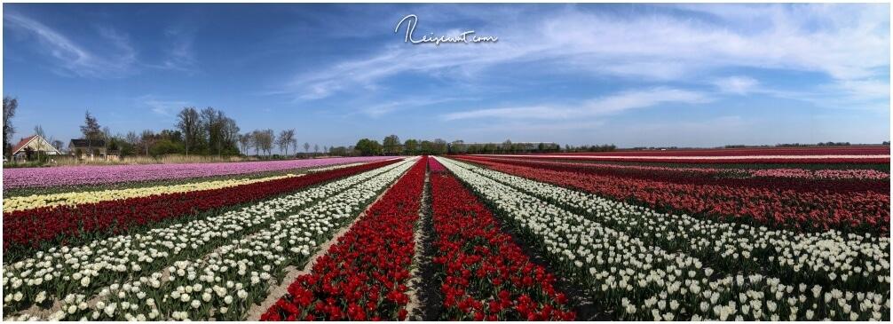 Ein riesiges Tulpenfeld mit zig verschiedenen Farben in der Region Flevoland