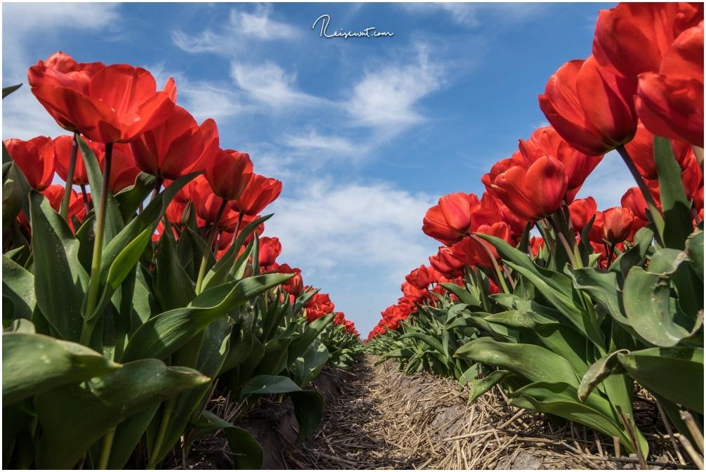 Frühlingsbilder erhält man zur Zeit der Tulpenblüte in Holland jede Menge