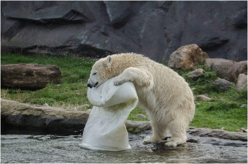 Einer der Eisbären in Action