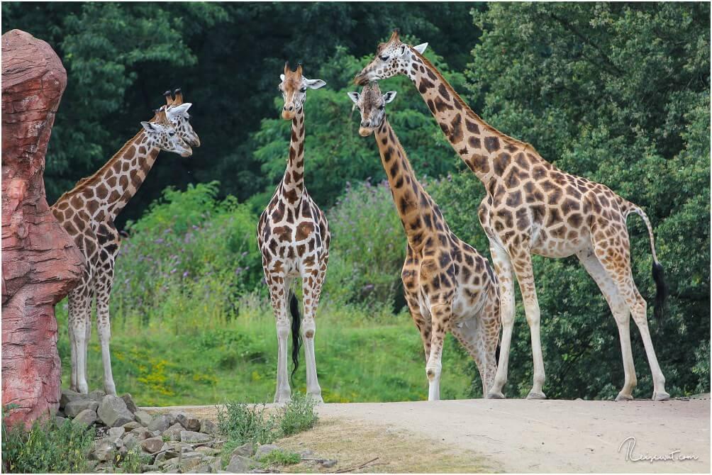 Die Giraffen kann man auch von einem Aussichtspunkt aus Auge in Auge sehen