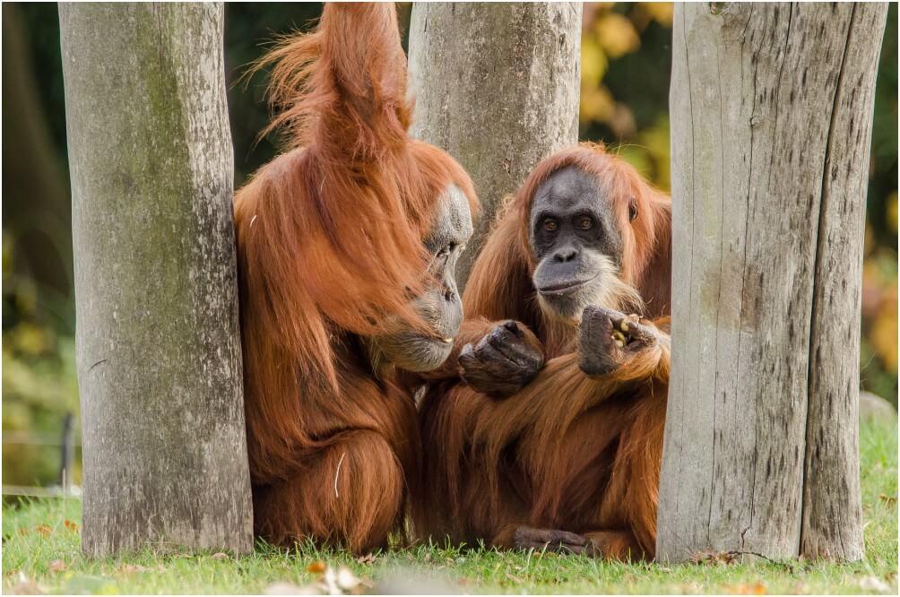 "Die Orang-Utans machen ausnahmsweise einmal ""Pause"""