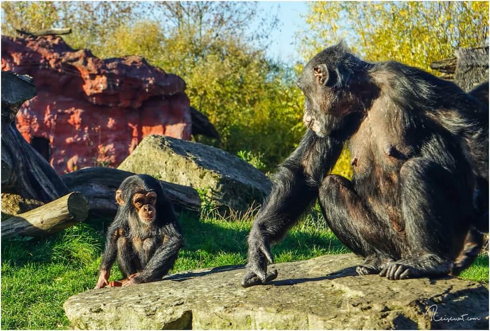 Nachwuchs bei den Schimpansen in der ZOOM Erlebniswelt