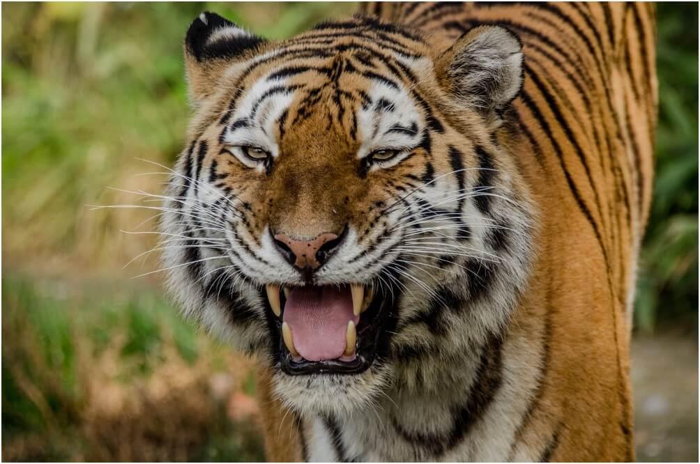 Am Tigergehege lassen sich mit etwas Glück tolle Aufnahmen machen