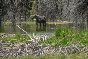 Moose (Grand Teton National Park)
