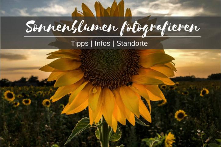 sonnenblumen fotografieren tipps infos