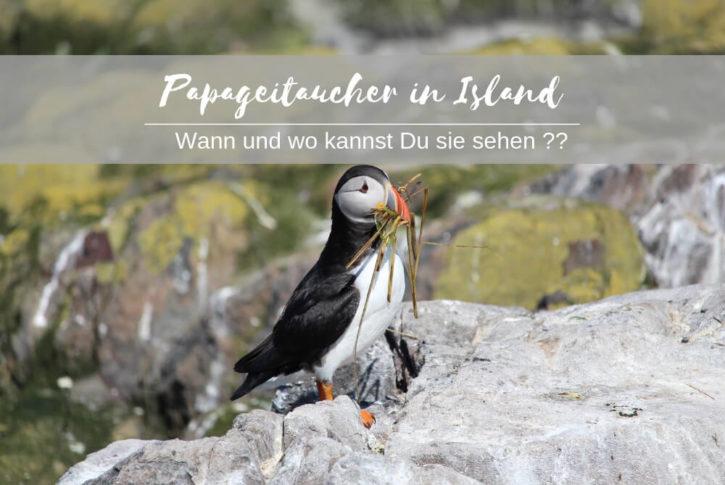Papageitaucher auf Island sehen