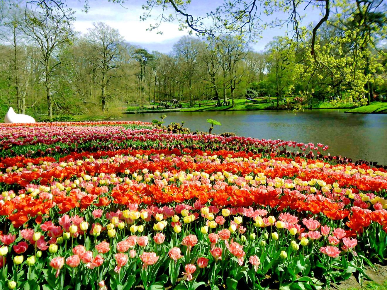 Tulip Hà Lan 8.jpg