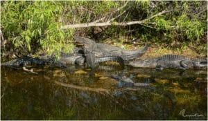 Alligatoren am Anhinga Trail im Everglades National Park