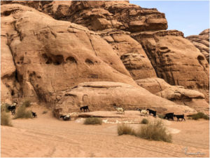 Ziegen im Wadi Rum