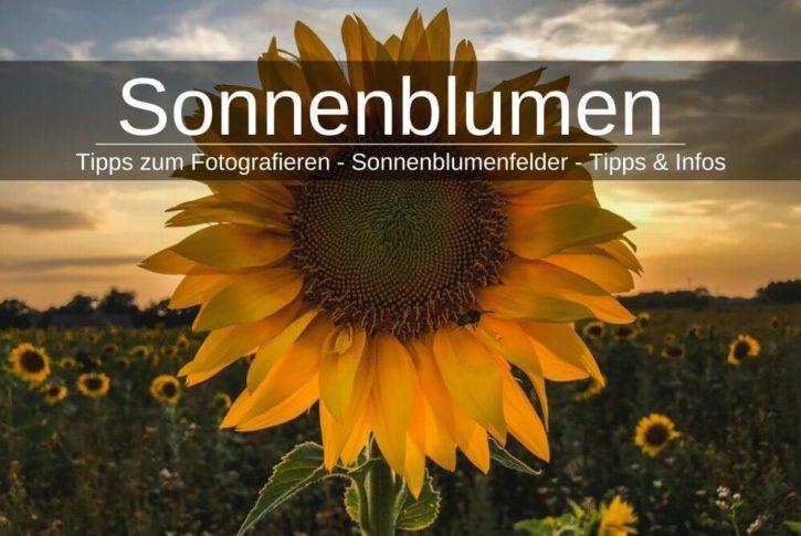 Sonnenblumen Fotografieren Sonnenbumenfelder
