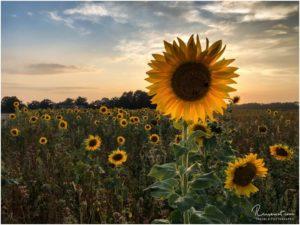 Sonnenblumenfeld (Marl)