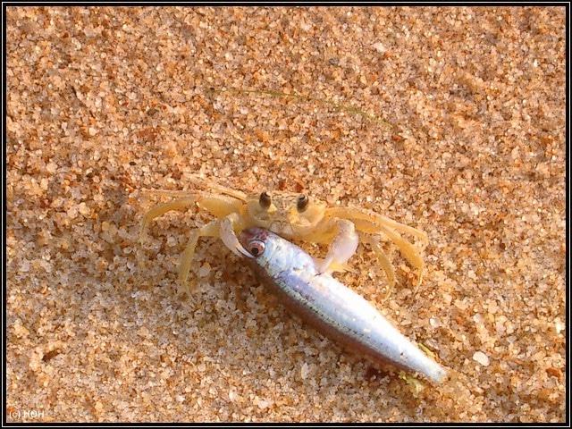 Strandkrebs beim Versuch, eine Makrele in seine Höhle zu zerren