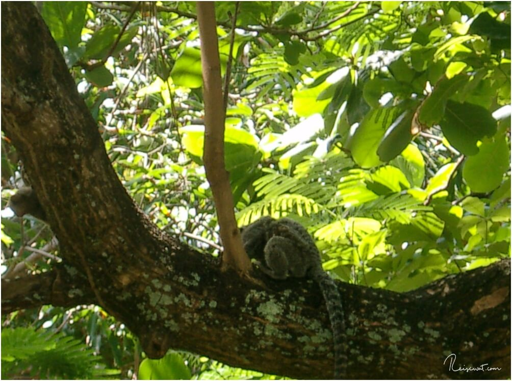 Ein unscharfer Affe im Baum, der in echt irgendwie viel schärfer gewesen ist