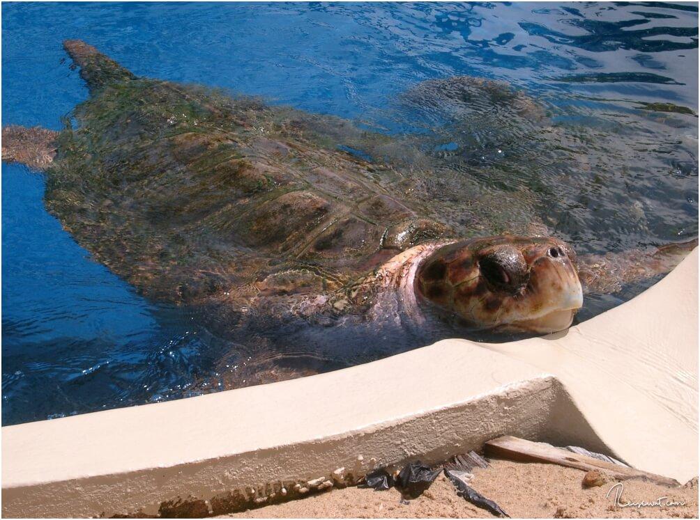 Schildkröte im Tamar - Project