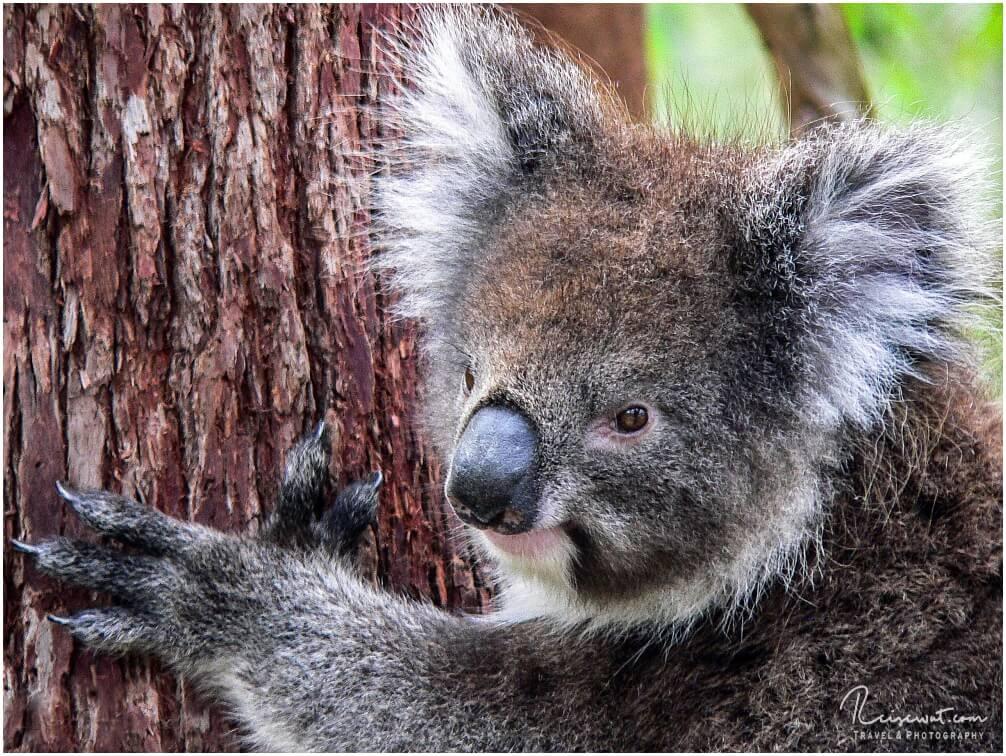 Einen wilden Koala in freier Natur zu sehen war einer meiner Lebensträume