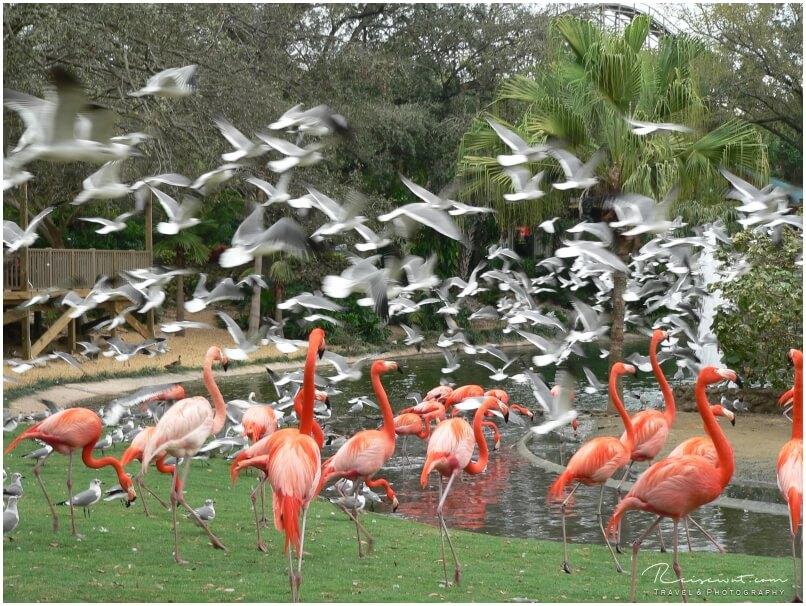 Auch die für Florida eher untypischen Flamingos bekommt man in Busch Gardens zu Gesicht