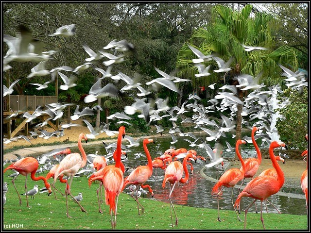 Flamingos in Bush Gardens