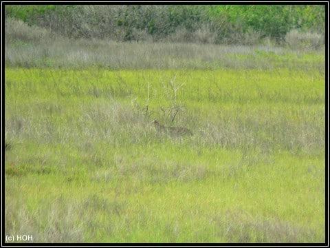 Versteckt in hohen Gras, aber es IST ein Florida-Panther