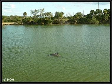 Wilder Delfin im Haulover Canal