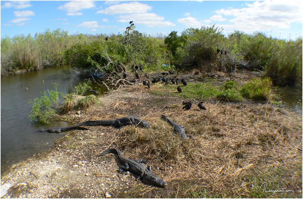 Alligatorauflauf am Ende des Anhinga Trails