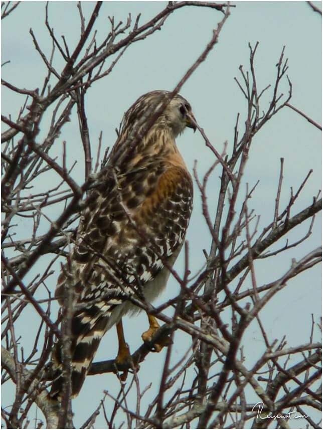 Falke auf dem Anhinga Trail