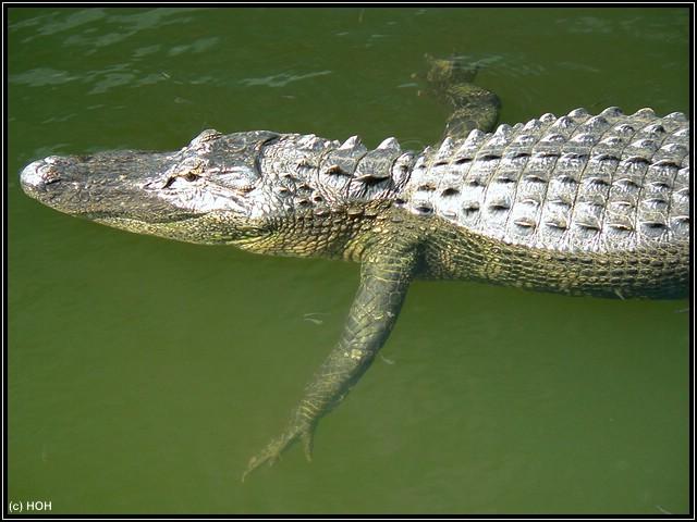 Ein Alligator zieht gemütlich seine Bahnen am Big Cypress Visitor Center
