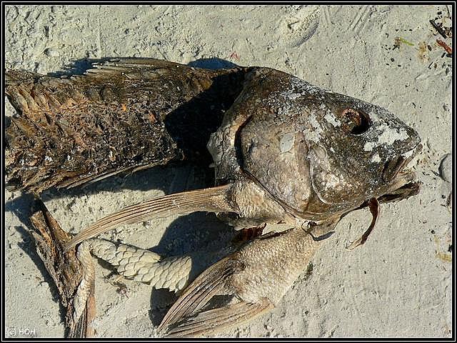 Fischkadaver