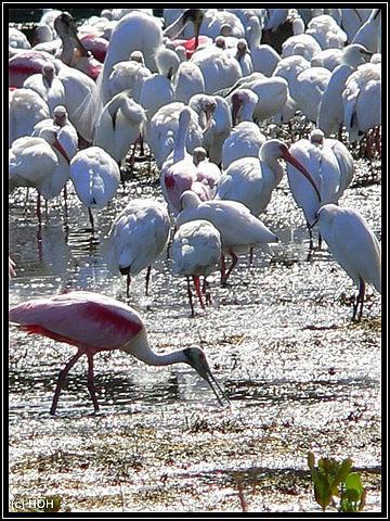Rosa Löffler und andere Vögel ohne Ende