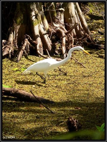 Reiher im Cypress Swamp Boardwalk