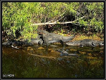 Alligatorenauflauf