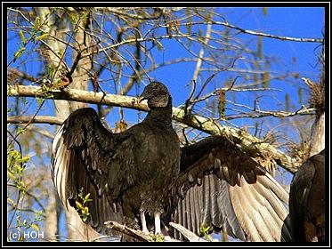 Sich sonnender Black Vulture
