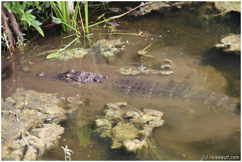 Auf der Lauer, auf der Lauer, liegt der kleine ... Alligatooooor