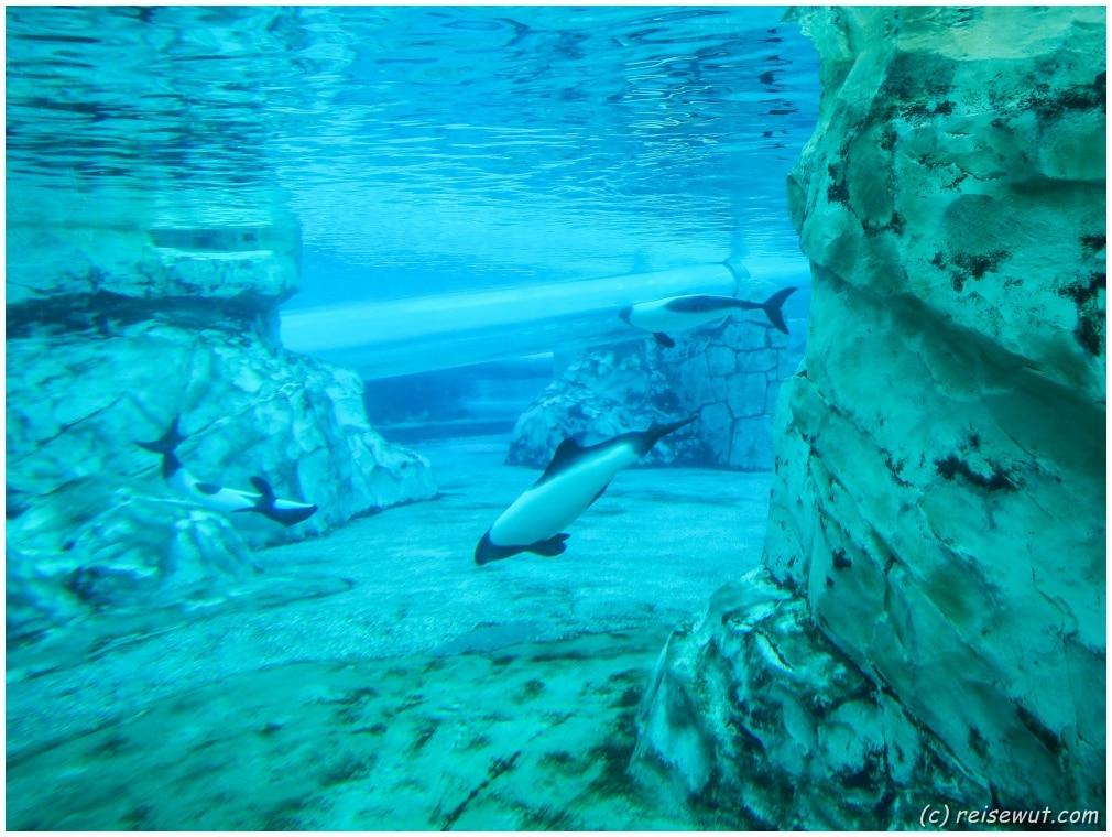 Auch ein paar Commerson Delphine finden man in Aquatica
