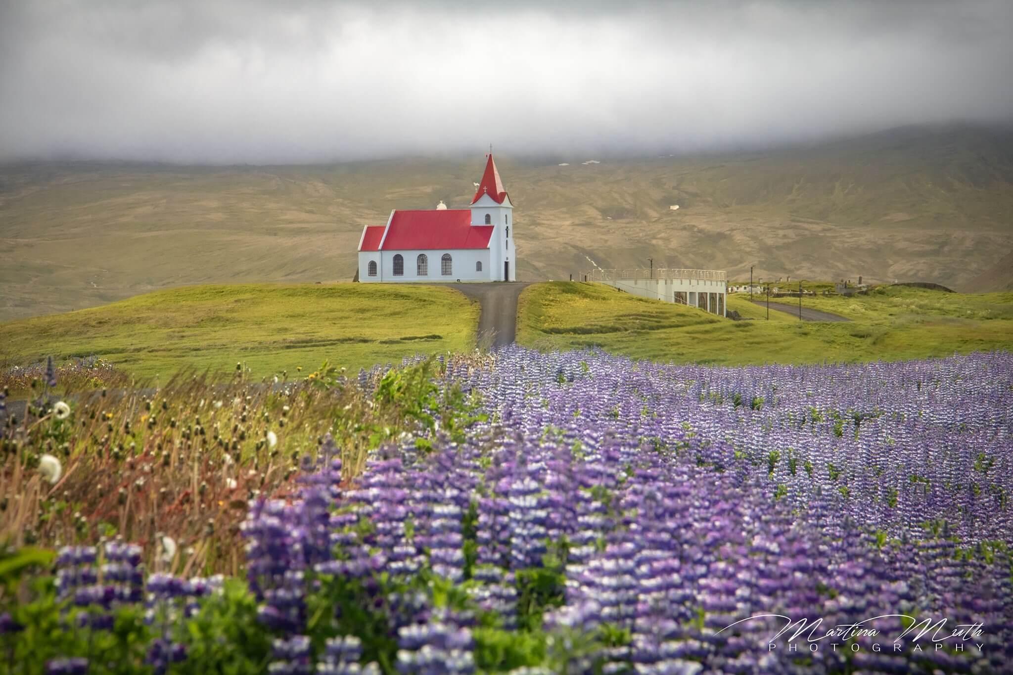 Die Zufahrtsstraße zur Ingjaldshólskirkja schaut ganz verändert aus, denn rechts und links blühen verschwenderische Mengen von Lupinen