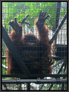 """Ich will hier raaaus...!"" ... Orang Utan im Zoologischen Garten"