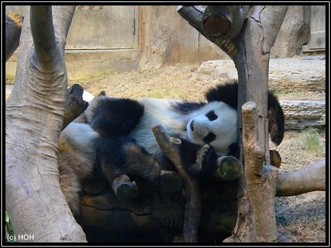 Ein topfitter Panda
