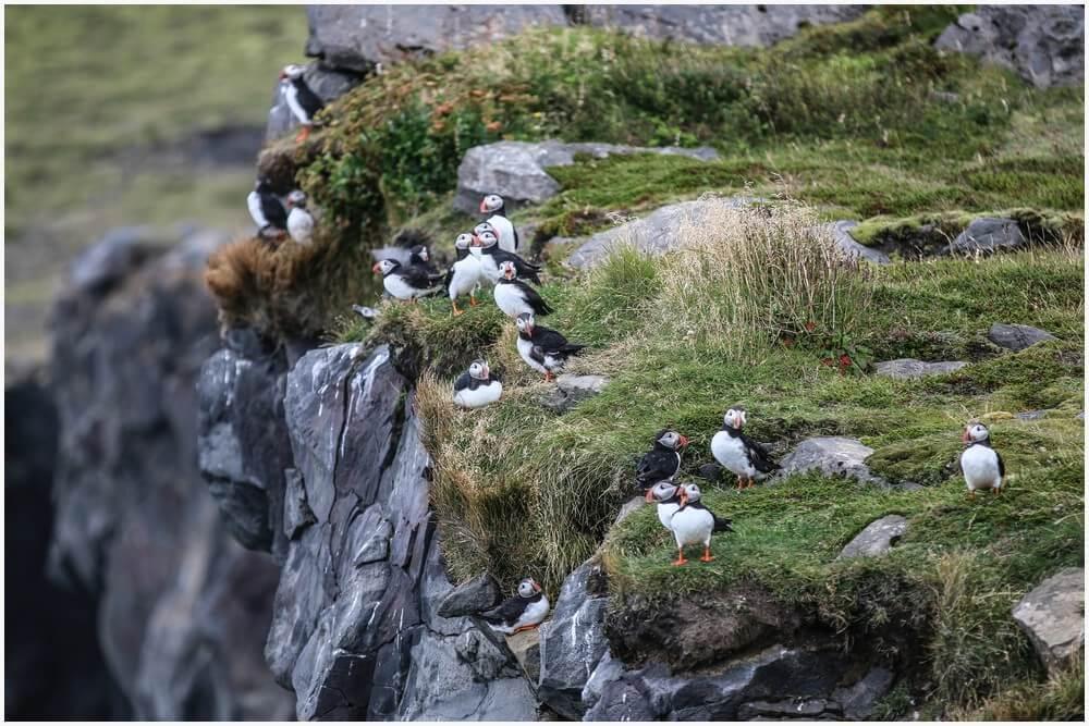 Papageitaucher an den Felswänden von Dyrhólaey