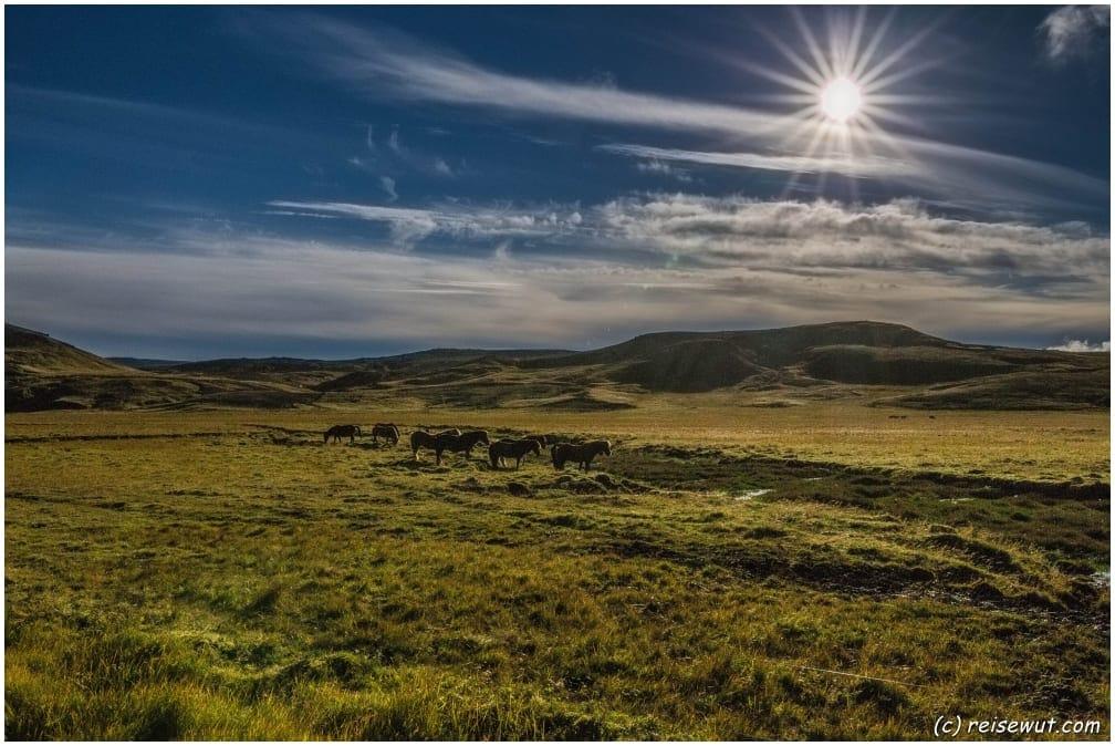 Islandpferde auf der Halbinsel Reykjanesbaer