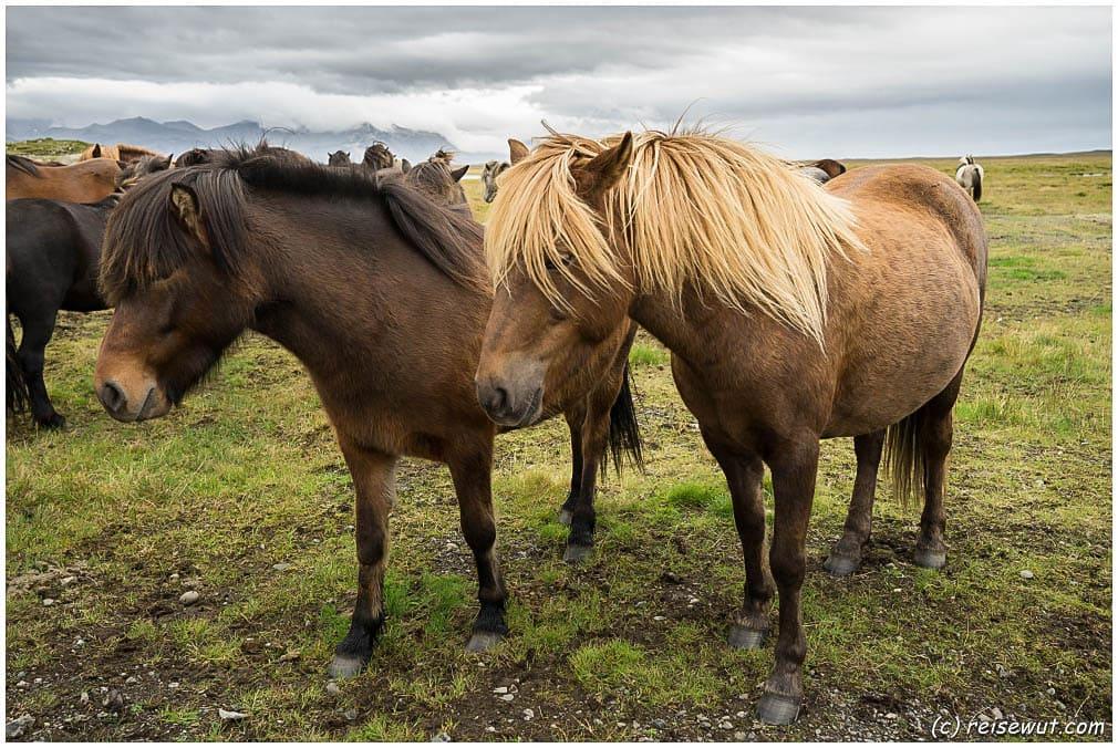Islandpferde .... fotografieren erlaubt, füttern und auch streicheln nicht