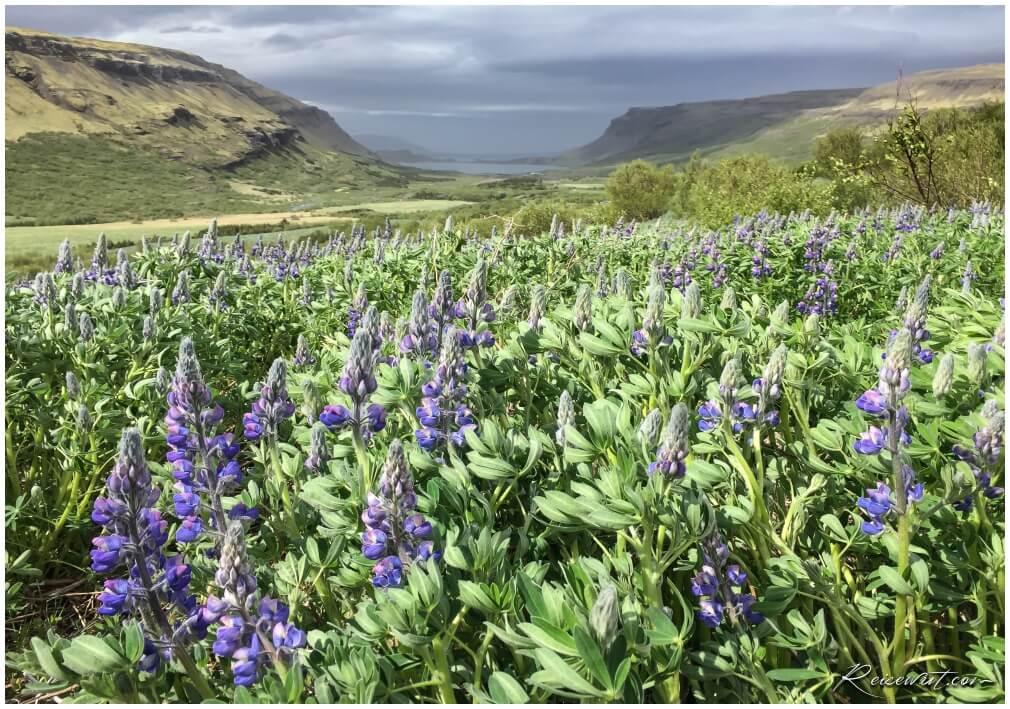 Blick zurück ins Tal vom Glymur Trail, jede Menge Lupinen säumen den Weg
