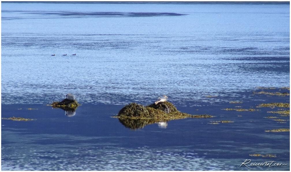 Robben im Skoetufjoerdur