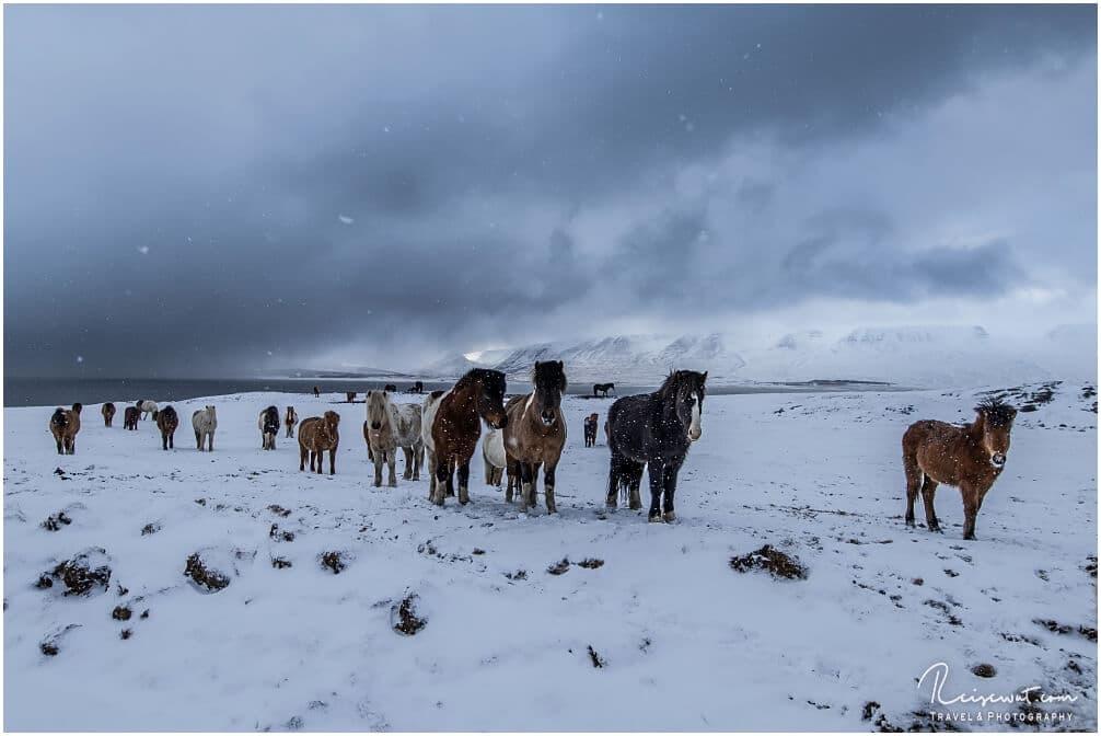 Immun gegen Kälte und Wind, aber wehe es kommt mal ein kleiner Virus um die Ecke ... dann kann es gefährlich für Islandpferde werden