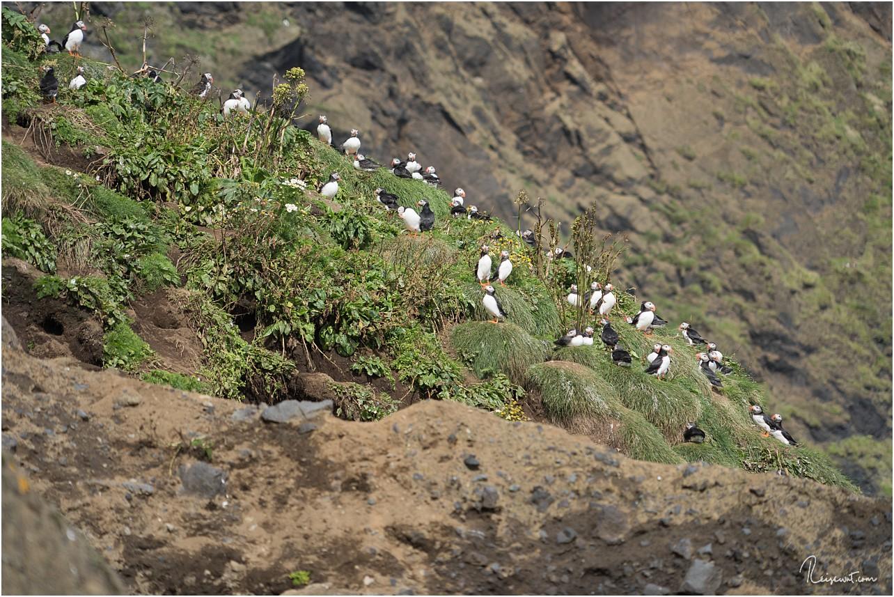 Ganz am Ende des Strandes haben sich am Steilhang Papageitaucher versammelt