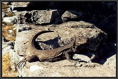 Leguan in Xcaret