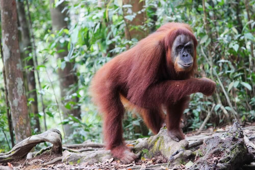 Orang-Utans im Regenwald auf Sumatra, Indonesien