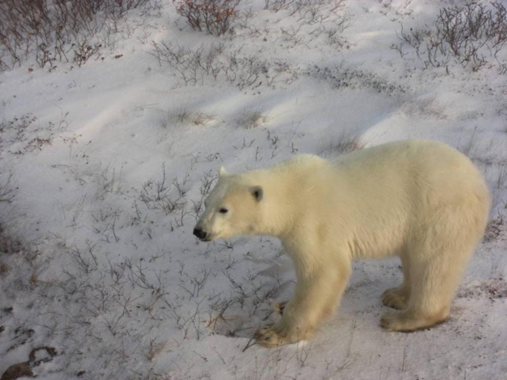 Churchill ist die Eisbären-Hauptstadt der Welt und liegt an der Hudson-Bay. Im Winter hast du ziemlich 100prozentige Garantie, einen der Burschen zu treffen.