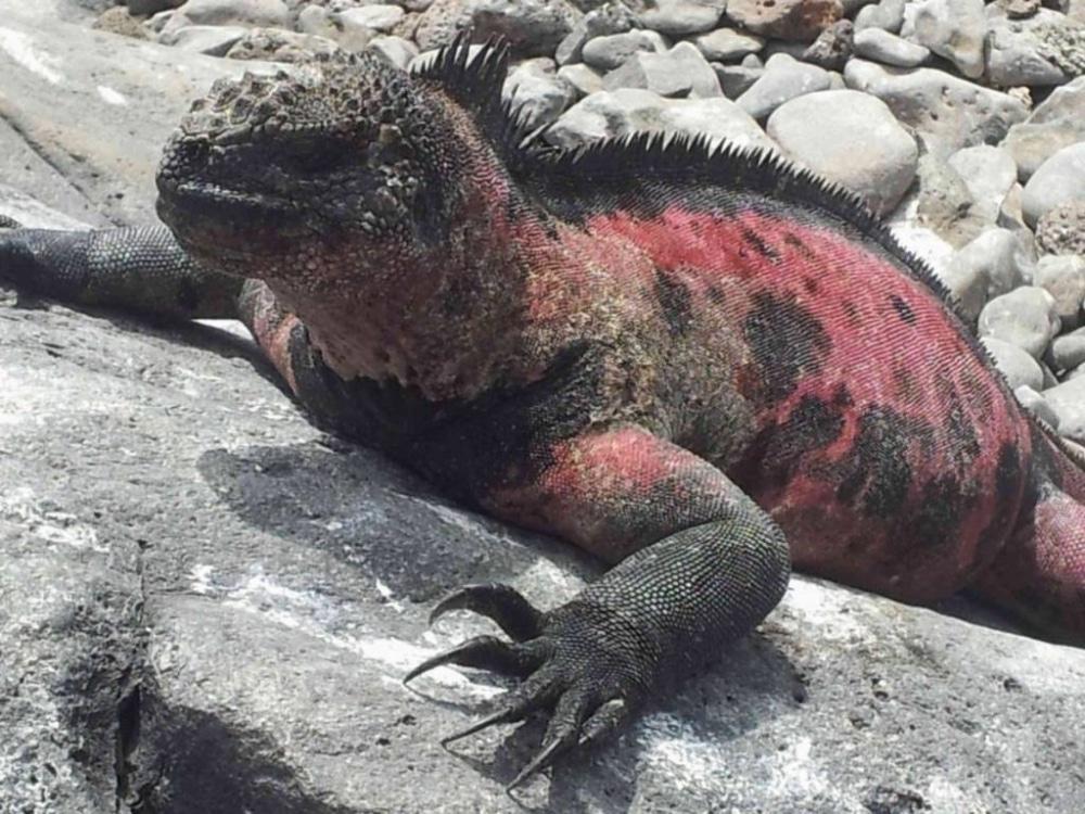 Die Meerechse auf Galapagos. War bereits mehrfach dort und würde immer wieder hinfahren.