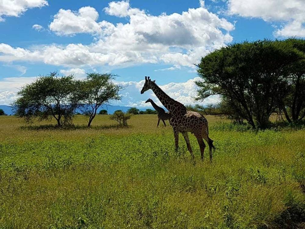Zum Tarangire Nationalpark in Tansania muss man glaube ich nicht viel sagen. Er ist nicht so bekannt wie der Ngorongoro-Krater oder die Serengeti, aber nicht weniger schön.